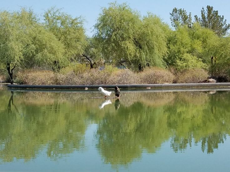 Rio Salado Audubon pond. Turtles coexist with the many bird species who frequent the pond