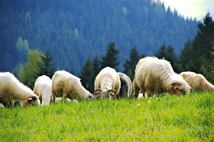 Wypas owiec.