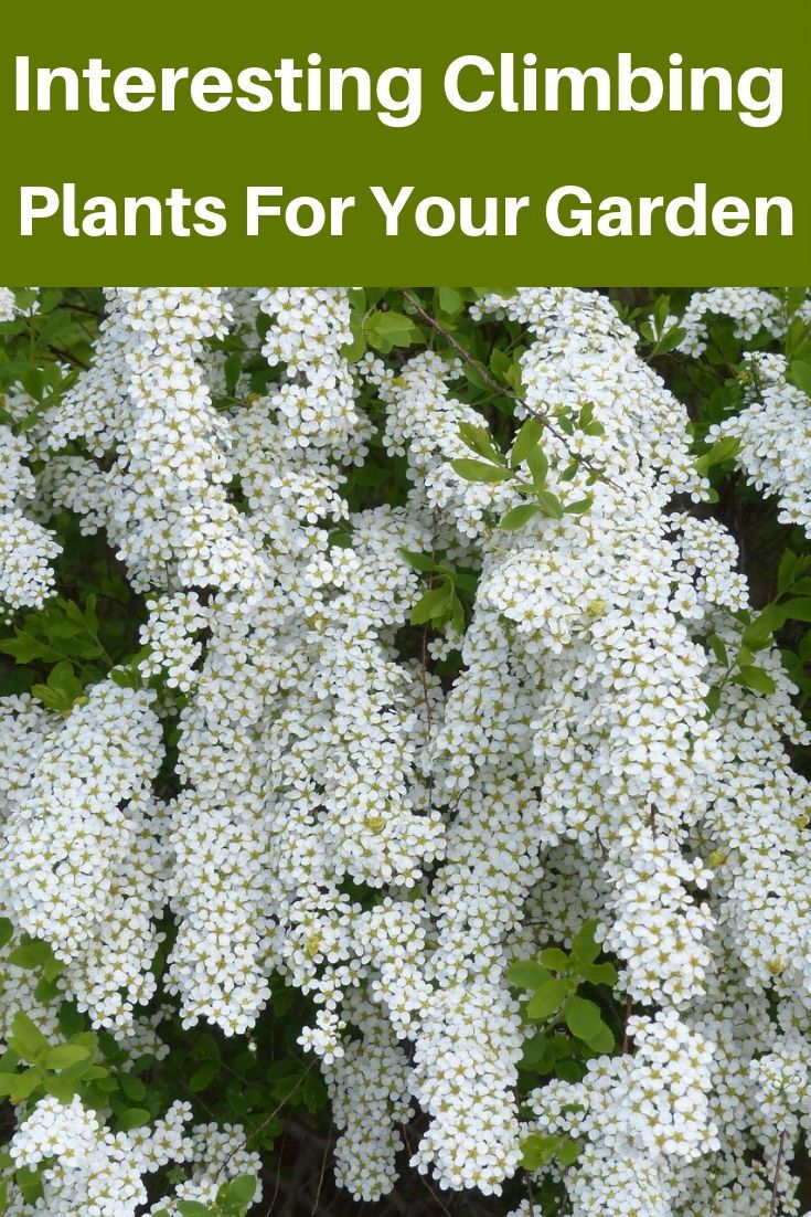Valuable Evergreen Climbing Plants For Happy Gardeners