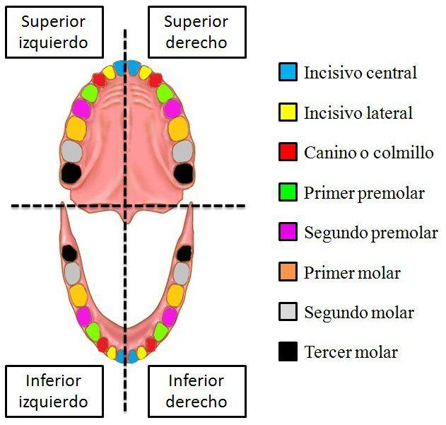 1. INTRODUCCIÓN El ser humano adulto tiene 32 dientes divididos en 4 tipos o grupos funcionales[Tipos de dientes humanos (con imagen)]. Cada uno de estos dientes recibe un nombre específico en función de su sub-tipo y posición(ver imagen más abajo):… Continue Reading →