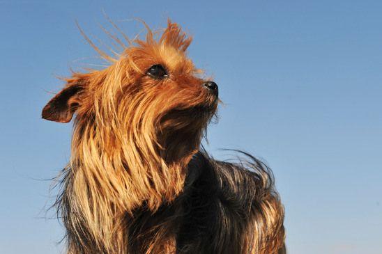 Yorkshire Terrier Kidney Failure 19 best Protein-Losing...