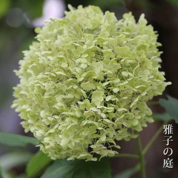 アジサイ アナベルの育て方 雅子の庭 庭 アジサイ 紫陽花 剪定