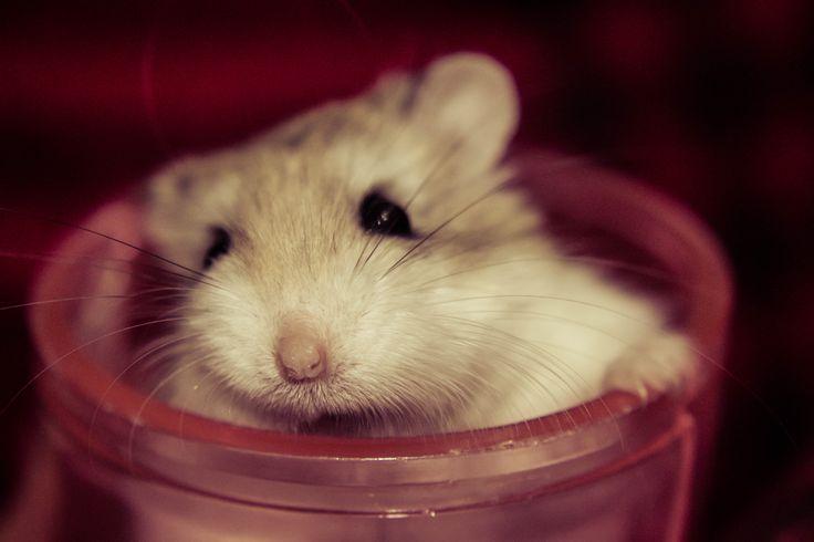 George Tucker #hamster #lovelyhamster