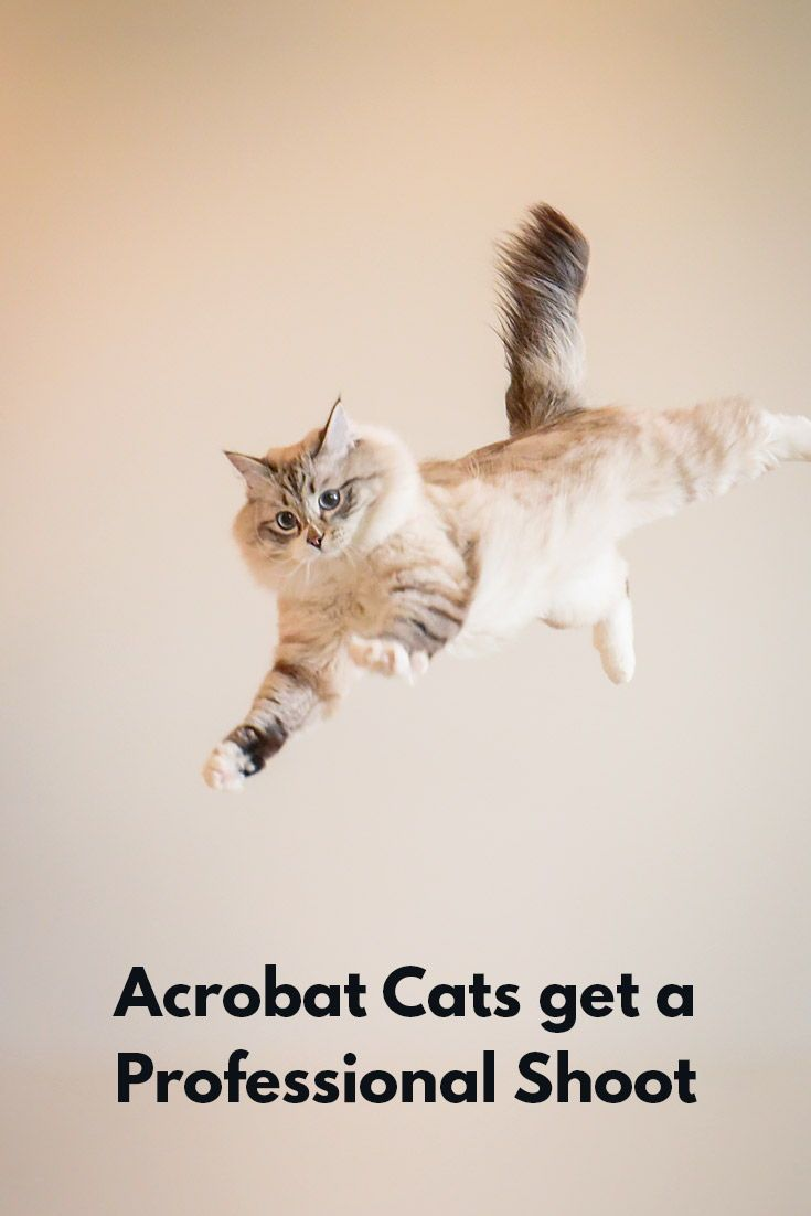 Check out these acrobat cats that got a professional photo shoot!