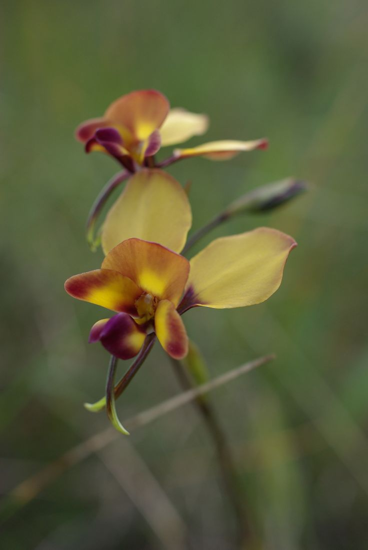 native orchid - Koondoola Regional Bushland_Western Australian Wildflower series - PHOTOS BY RODNEY CHEUK- 2007.