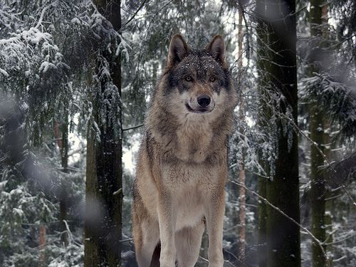 Wolf | One of the four grey wolves in the Tierpark Lüneburger Heide, Germany √