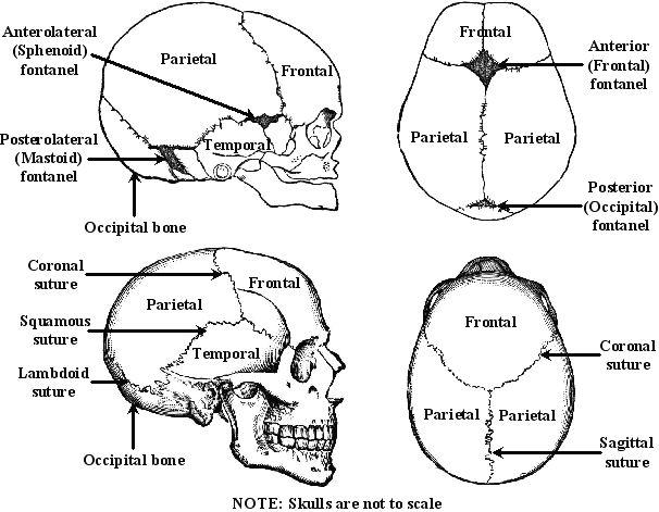 the skulls skulls and search on pinterest : skull sutures diagram - findchart.co
