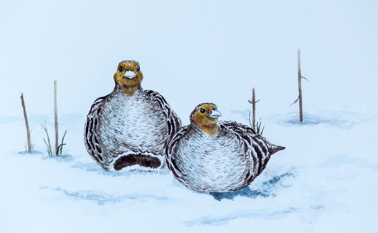 Kuropatwy w śniegu