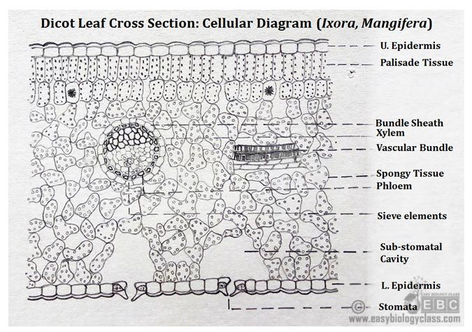 Dicot Leaf (Dorsiventral Leaf) Structure with PPT (With ...