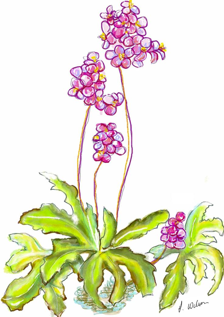 A sketchy representation of the simple begonia, all time favourite.