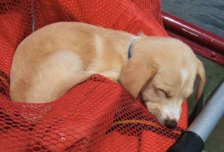 Beagle / Lab mix puppy