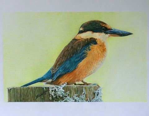 Kotare, NZ Native Kingfisher, Colour pencil drawing by Cherith Curtis