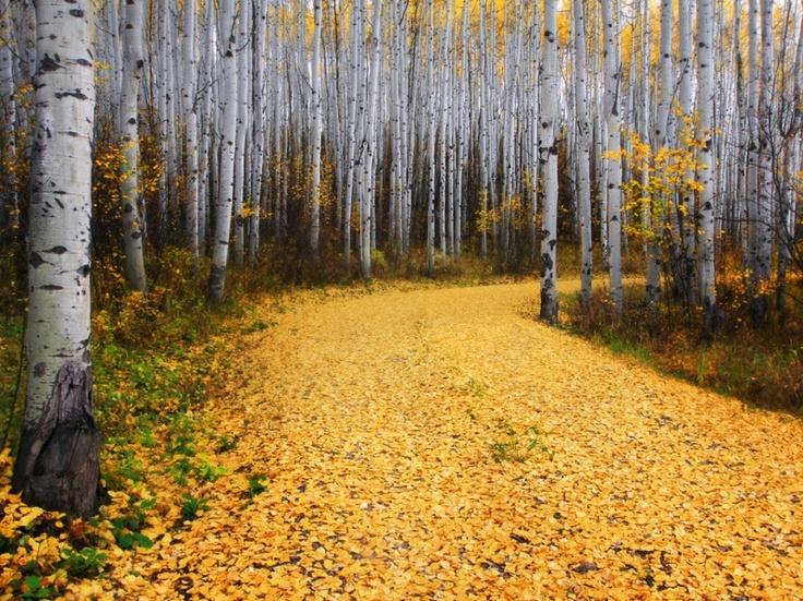 アスペンの森、コロラド州  Aspen, Colorado