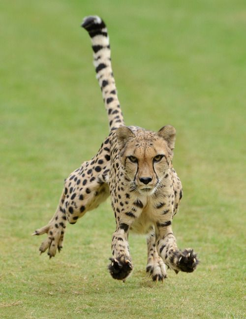Cheetahs can accelerate to freeway speeds in just a few strides. Their bodies are uniquely designed to run very fast for fairly short distances, allowing them to catch prey that other big cats can't get.