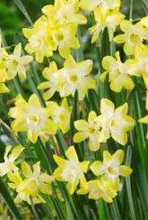 Narcissus Pipit - Daffodil Bulbs