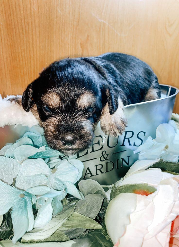 Ross NAPR Schnoodle doggie for sale at Aurora, Colorado