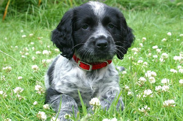 blue roan cocker spaniel