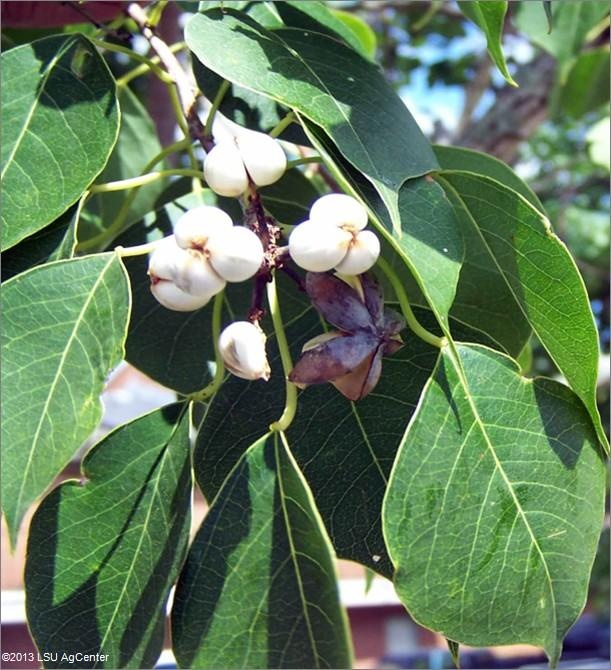 Chinese Tallow Tree: cream colored tallow berries big old tree  behind wall across from patio door