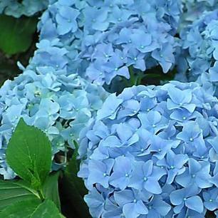 Hortensien-Blüten blau färben – so klappt es garantiert!
