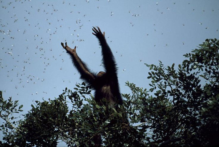 """In Gombe National Park in Tanzania, Glitter, a five-year-old chimpanzee, climbed a tree and started grabbing at winged termites that were swarming all around. Usually the chimps stand on the ground and catch them as they crawl out of their mounds, said Kristin. So when Glitter started to grab recklessly at the cloud of flying termites, Kristin knew it was special. To me, the image is powerfully symbolic. It reflects the condition of the whole speciees – teetering on the edge of…"