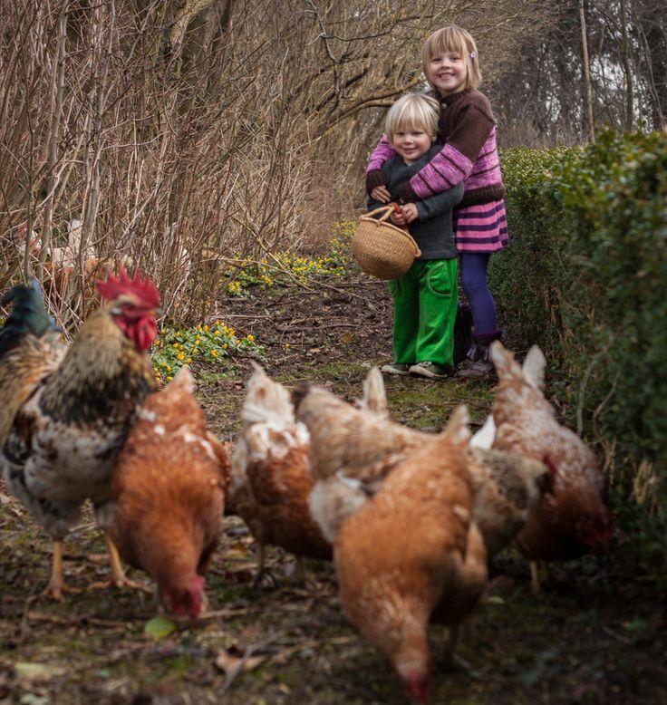 Børnene har fodret hønsene med hvedekorn