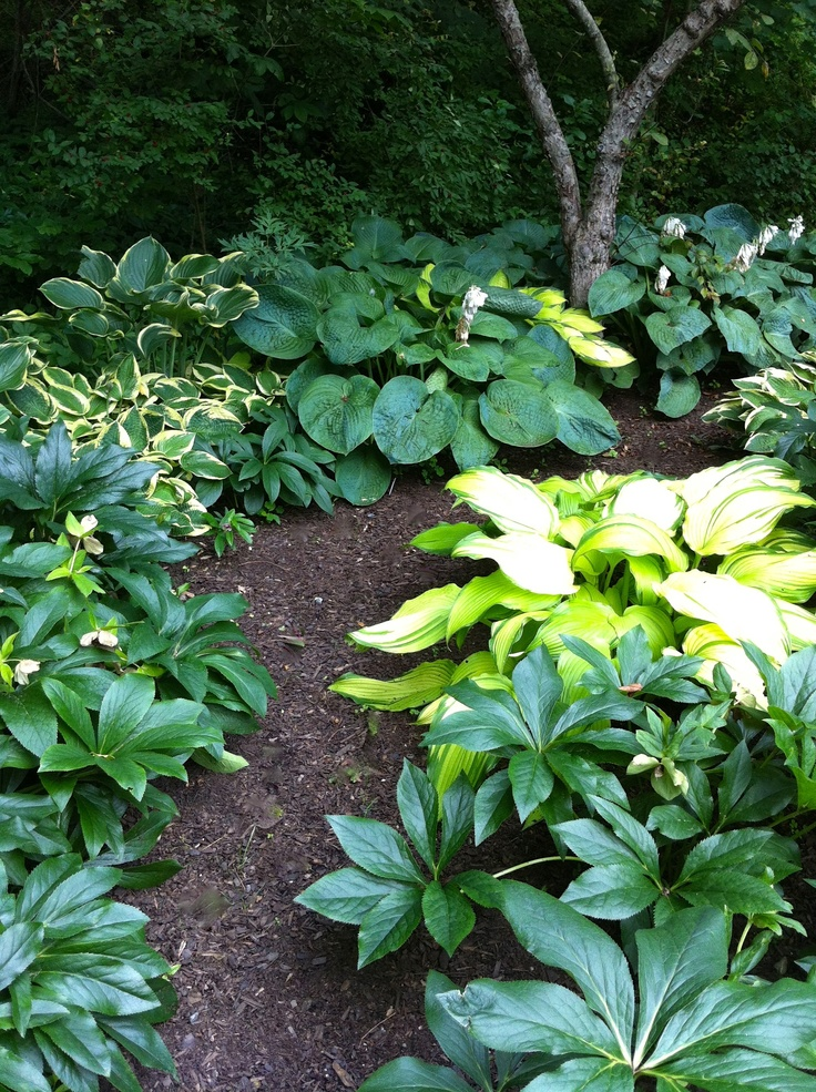 Hostas and Hellebores grow nicely together.