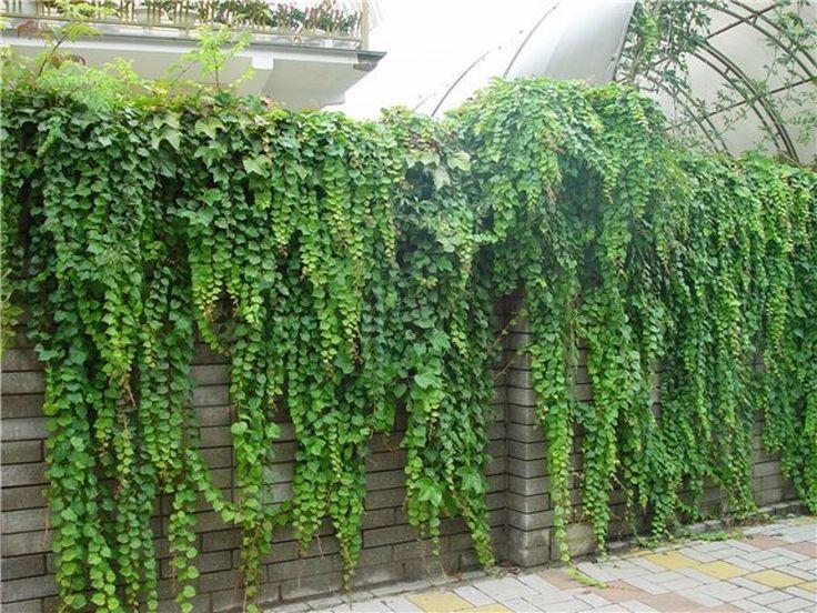 Плющ на ограде  Вечнозеленая деревянистая лиана довольно часто используется для украшения стен, оград и беседок. Многочисленные теневыносливые сорта плюща, как правило, имеют названия тех мест, где эти растения распространены больше всего (азорский, японский, крымский и др.). Хорошо растут по стенам, цепляясь за них своими корнями в виде присосок (см.фото).