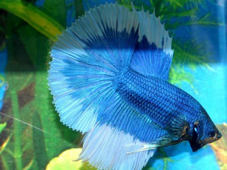 1000 images about betta fish on pinterest betta tank for Betta fish feeder