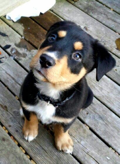 German shepherd/husky/ black lab mix. 8 weeks old
