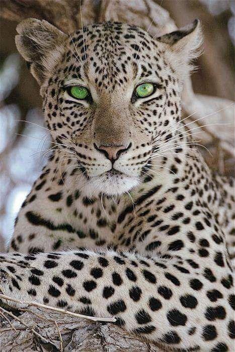 pale leopard/panther?.. green eyes, direct eye gaze