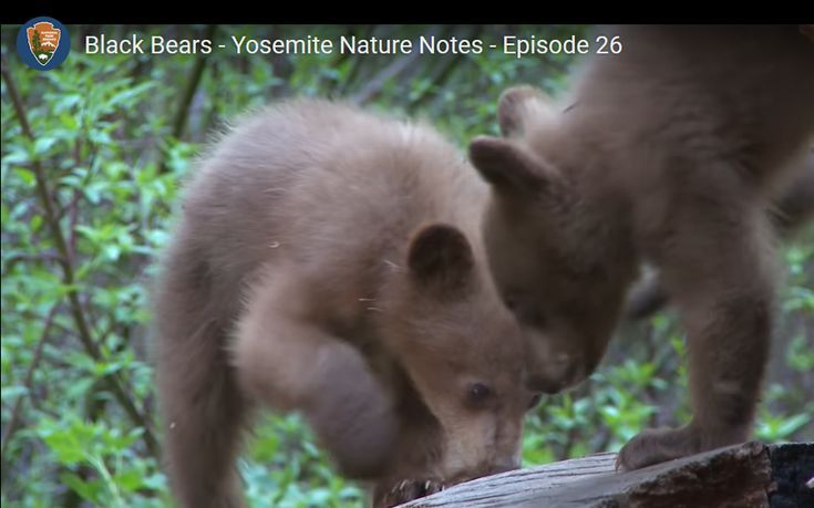 Of Black Bears Make Their Home In Yosemite And Seeing A Wild Bear Is Often The Highlight Of A Trip To The Park Bears Often R With Images Black Bear Yosemite
