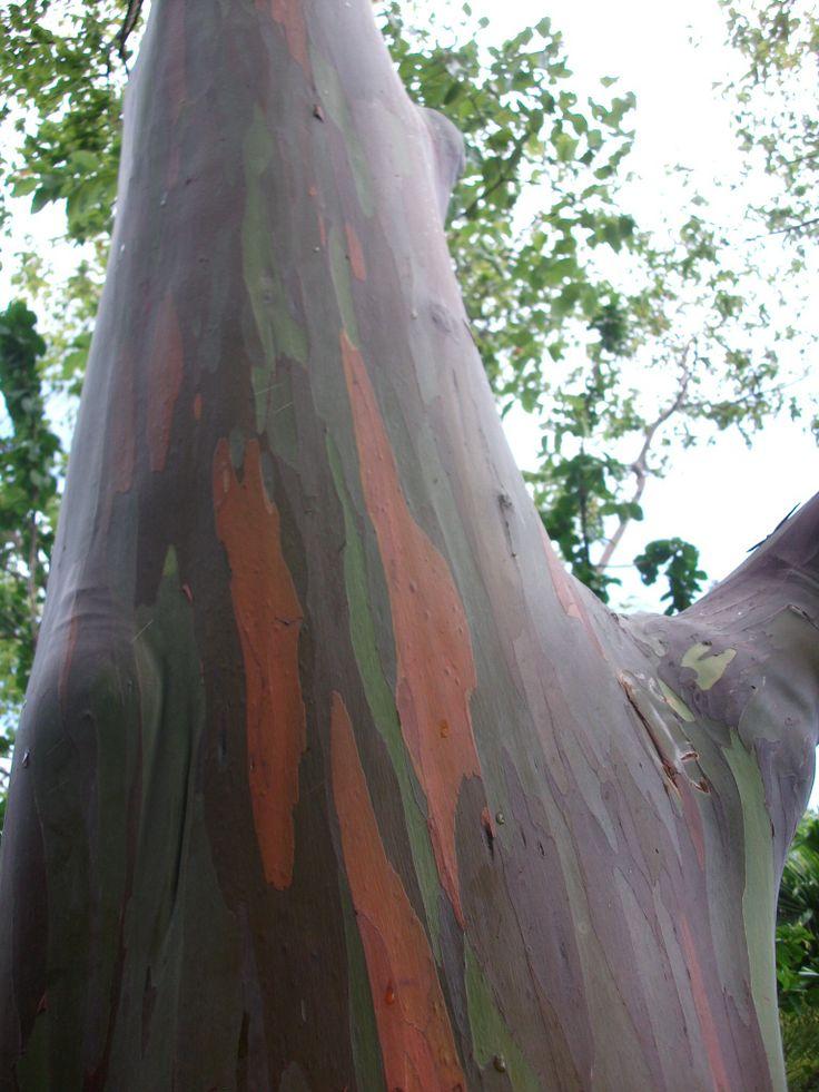 Rainbow tree. Road to Hana - Hawaii