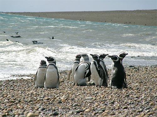 Pingüinera Puerto Punta Quilla - Pingüinos de Magallanes - Santa Cruz - Argentina