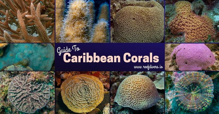 Complete easy to use guide to Identifying Caribbean Corals #Coral #coralidentification #marinebiology #scubadiving #scuba #caribbean