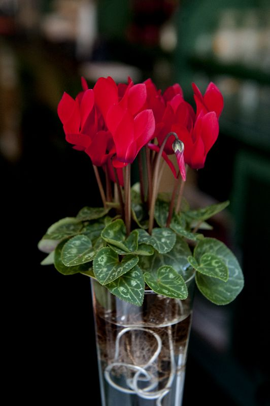 cyclamen on water, tuber must stay dry!