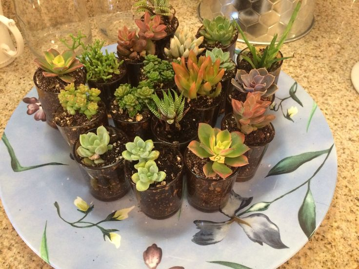 succulent party favors in amber glass votives