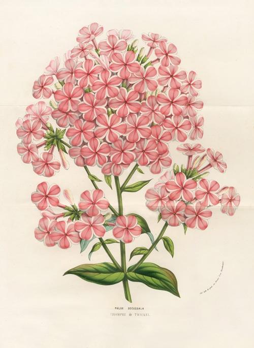 Phlox Decussala - Louis Van Houtte, Flore de Serres et des Jardins de l'Europe Botanical Prints 1851