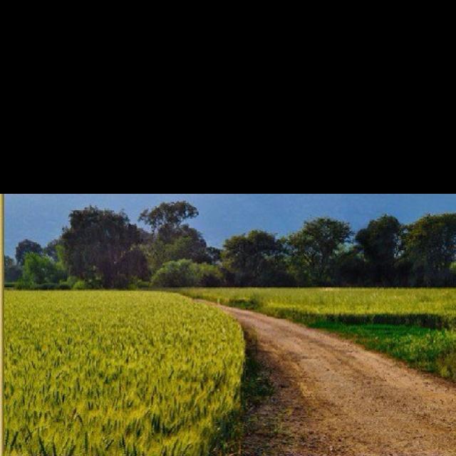 שדה חיטה בעמק החולה - אלי רימון