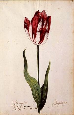 From the Great Tulip Book: Den Manuasier, S. Augustus Jacot, 17th century