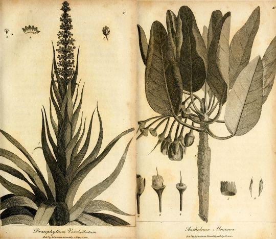 Labillardière and his Relation   The Public Domain Review