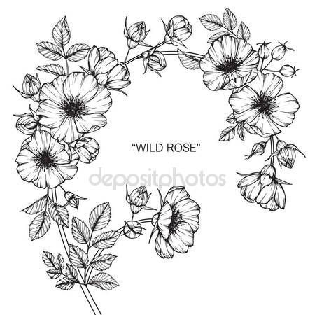 Descargar - Flor color de rosa salvaje. Dibujo y dibujo con línea blanco y negro-arte — Ilustración de Stock #169912222