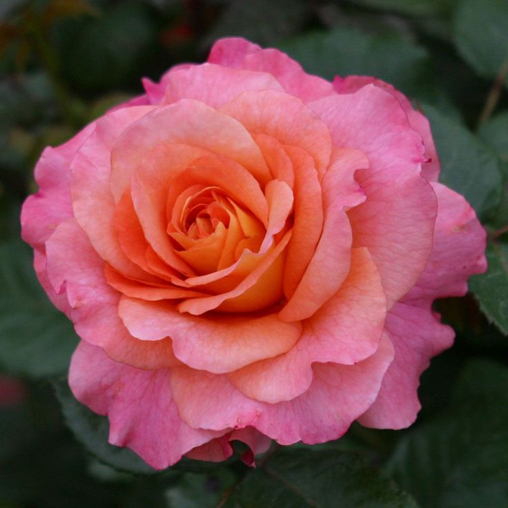 Hybrid Tea Rose 'Augusta Luise' (aka 'Fox-Trot', 'Haley Westenra')  (Rosa x odorata)
