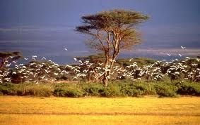 Aves en la sabana africana; Aves en la sabana africana