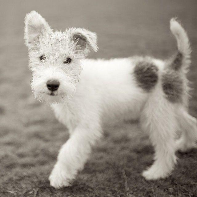 Instagram media by thedogist - Frankie, Wire Fox Terrier, Zilker Park, Austin, TX