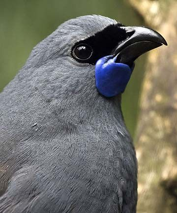 Kōkako (Callaeas cinereus) is a forest bird which is endemic to New Zealand.