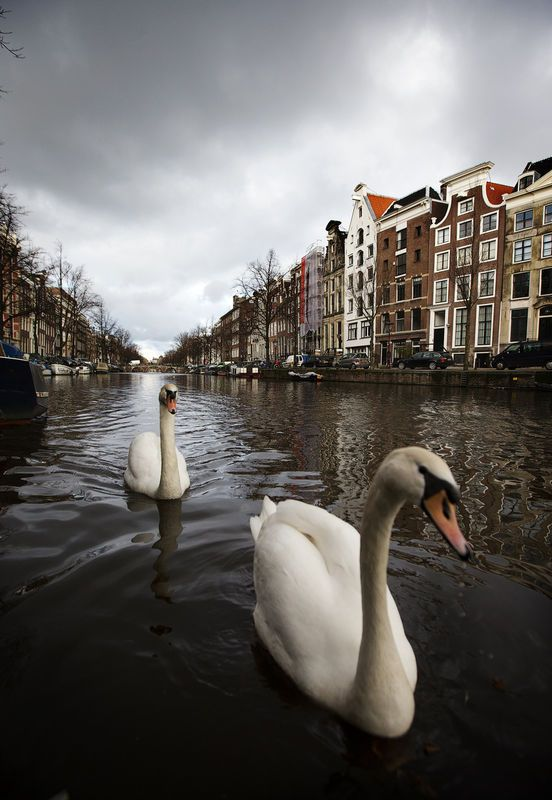 "This week Amsterdam opens the event ""400 Years Amsterdam Canals"". This celebrates the decision of the city of Amsterdam in 1613 to begin the construction of the canals. In the photo: Swans in the Keizersgracht. © ANP. More Amsterdam Canal photographs here: http://www.parool.nl/parool/nl/2848/FOTO/photoalbum/detail/3375592/404718/0/400-jaar-Amsterdamse-grachtengordel.dhtml#photo #amsterdamcanals"