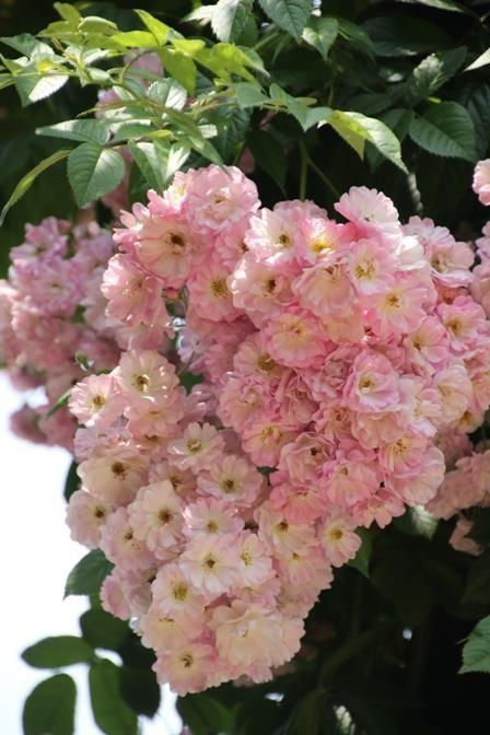 ~Rosa 'Blush Rambler'