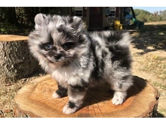 Teacup Pomeranian Puppies For Available