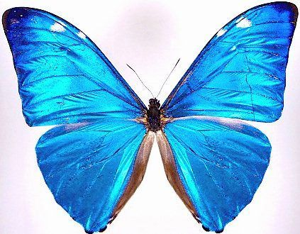 Blue Morpho Butterfly Tattoo | blue morpho
