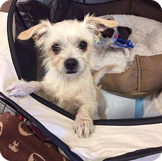 Pictures of Dobby a Cairn Terrier/Dachshund Mix for adoption in Brea, CA who needs a loving home.